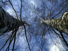 two birch trees in a blue sky