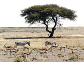 zebra antelope and a tree