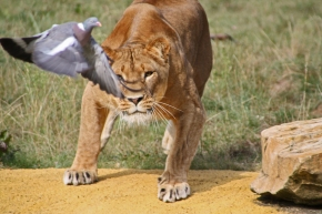 lion and pigeon